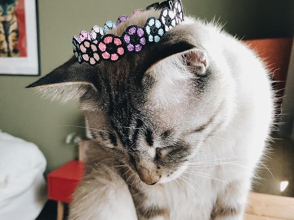 あじさいカラーの首輪を冠みたいにかぶせられてるシャムトラ猫