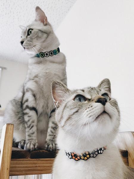 グリーン系の首輪をつけたサバトラ猫と、オレンジ系の首輪をつけたシャムトラ猫