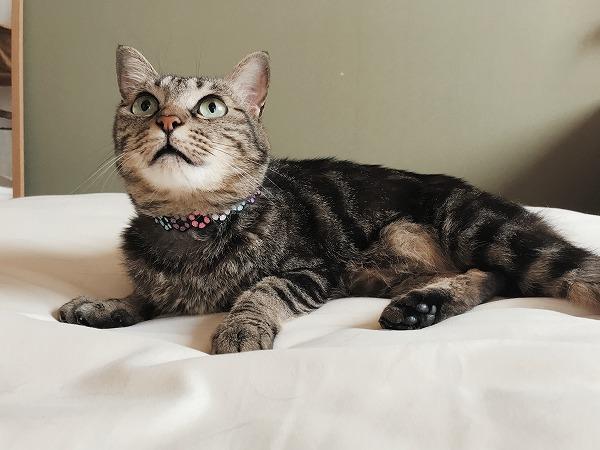 ふとんの上で横になってるキジトラ猫