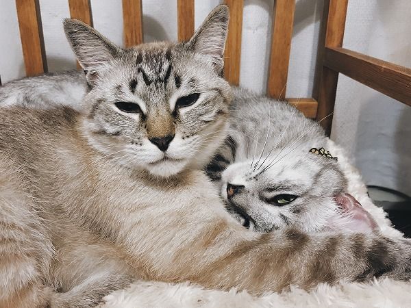 眠そうな表情のシャムトラ猫とサバトラ猫