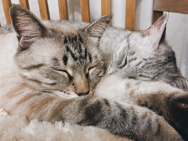 仲良く顔をくっつけて眠る2匹の猫
