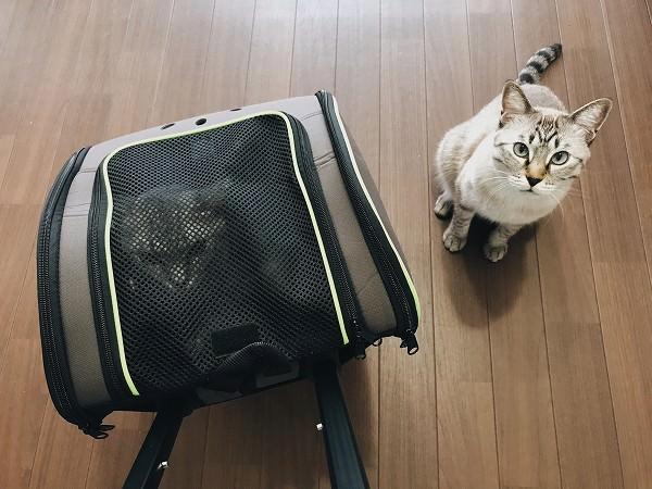キャリーに入れられたサバトラ猫と、その横でこっちを見上げているシャムトラ猫