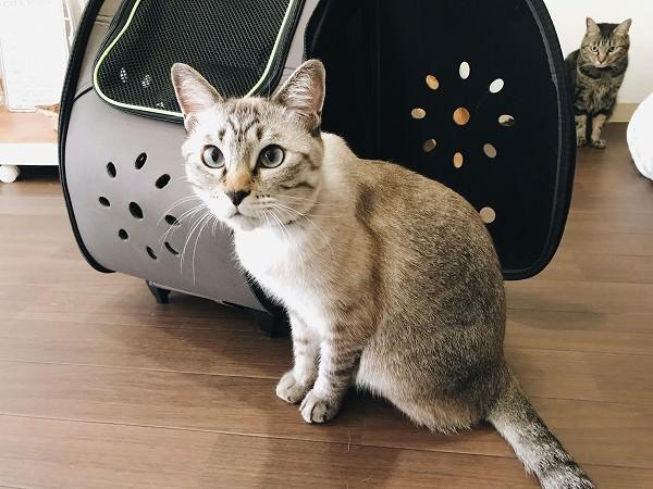 ペットキャリーとシャムトラ猫
