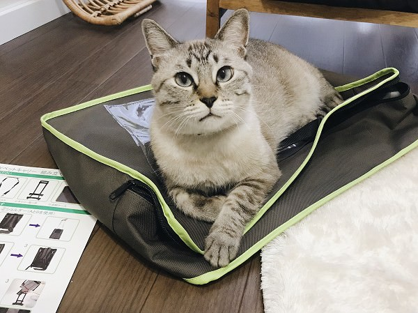 キャリーが入ってたカバーの上に乗ってくつろいでるシャムトラ猫