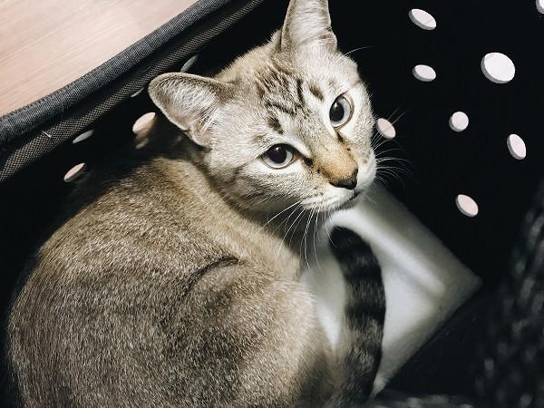 キャリーの中に入っているシャムトラ猫