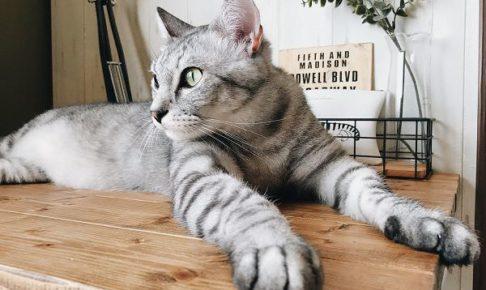 テーブルの上に乗っているサバトラ猫