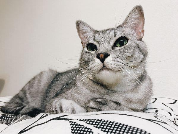 ベッドでくつろいでいるサバトラ猫