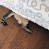 ベッドの下に隠れているシャムトラ猫のお尻としっぽ