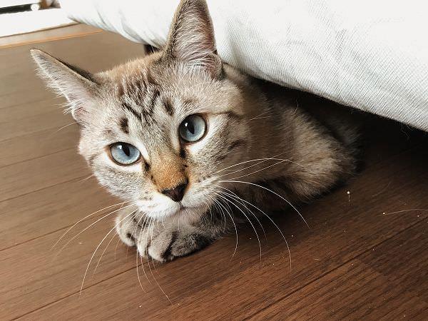 ベッドの下からひょこっと顔を出しているシャムトラ猫
