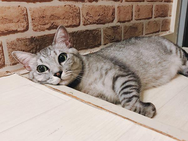 玄関の段差にほっぺたを乗せて寝そべっているサバトラ猫