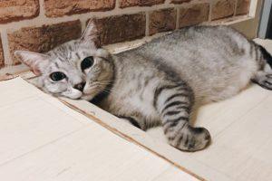 満足気な表情のサバトラ猫