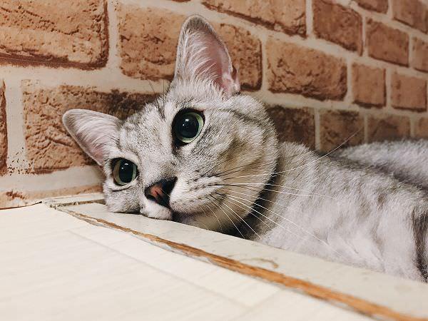 サバトラ猫の顔のアップ