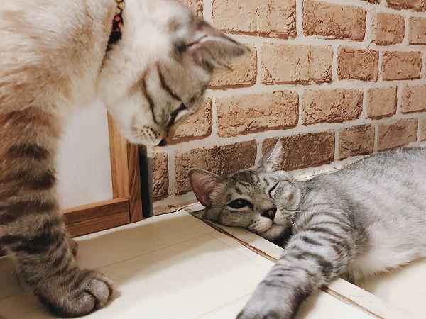 寝そべってる兄猫を見下ろす弟猫