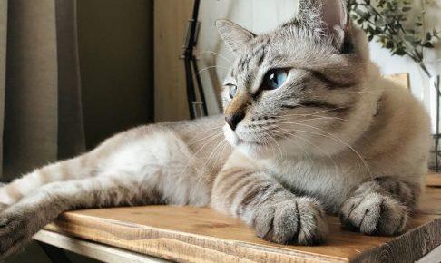 机の上でまったりしているシャムトラ猫