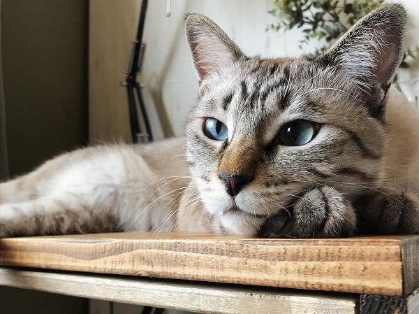 遠くを見つめる青い瞳の猫