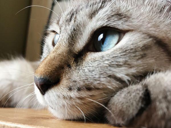 透き通った青い瞳の猫
