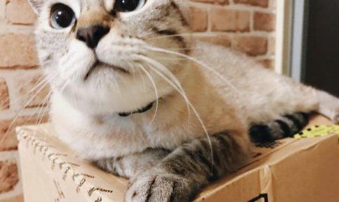 丸顔シャムトラ猫