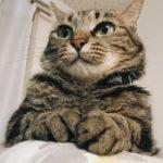 キャットタワーの上にいるキジトラ猫を下から見たところ