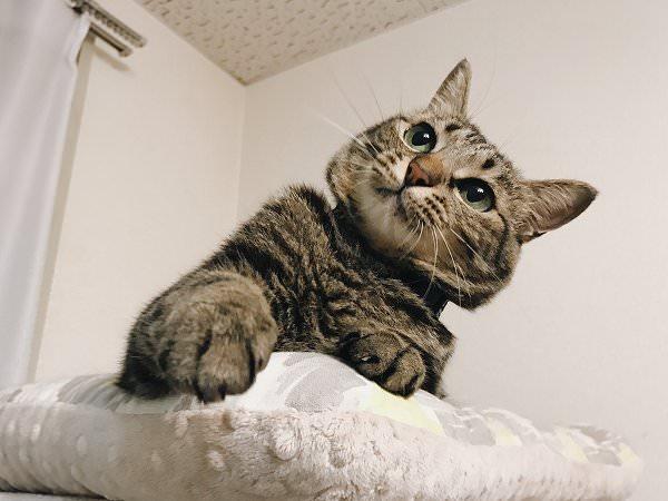 首をかしげてカシャカシャ棒を見つめるキジトラ猫