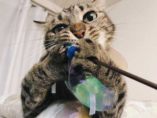 カシャカシャ棒にかぶりつくキジトラ猫