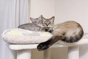 キャットタワーの上で抱き合ってる兄弟猫