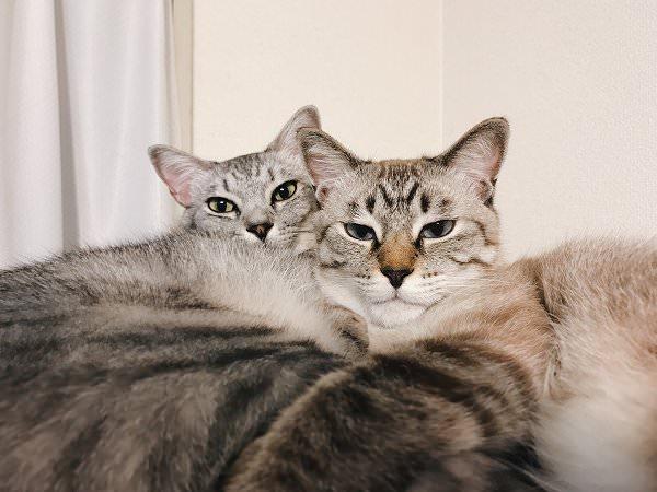 顔をくっつけ合ってるサバトラ猫とシャムトラ猫