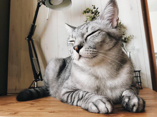 目をつむって伏せのポーズをしているサバトラ猫