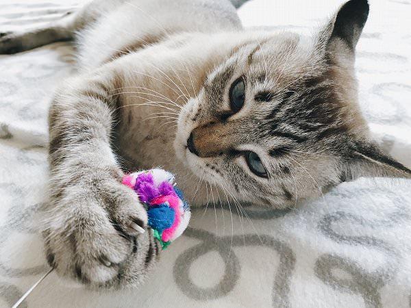 真剣な顔でボールを掴んでいるシャムトラ猫
