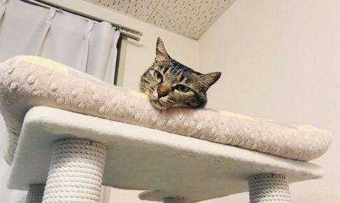キャットタワーのてっぺんから顔だけ出しているキジトラ猫