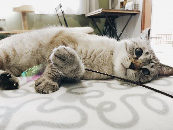 おもちゃを掴んで横たわっているシャムトラ猫
