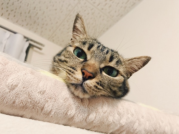 キジトラ猫の顔だけアップ