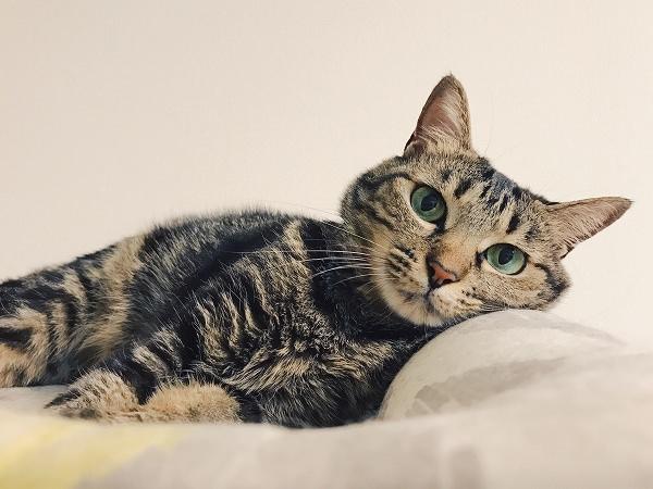 ベッドに横になってこっちを見ているキジトラ猫