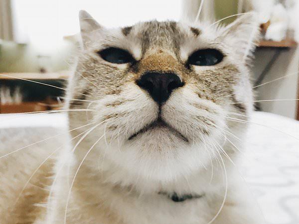 シャムトラ猫の顔のアップ