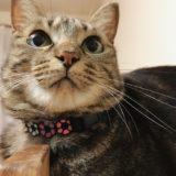 丸顔のキジトラ猫
