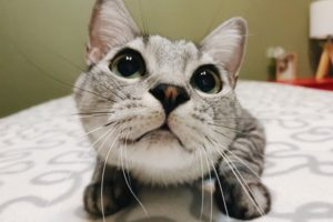 大きな黒目がクリクリなサバトラ猫