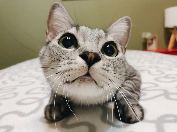 おっきな瞳をキラキラさせておもちゃを狙う猫