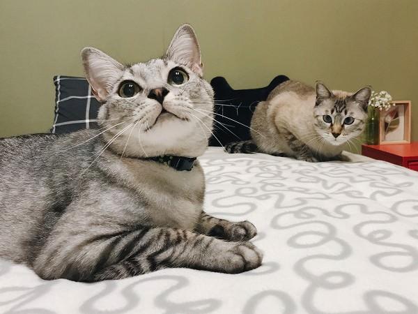 伏せのポーズで大きく目を見開いているサバトラ猫