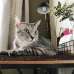 作業机の上にいるサバトラ猫
