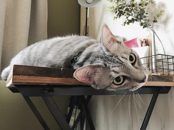 机の上に寝っ転がっているサバトラ猫