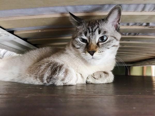 ベッドの下に隠れているシャムトラ猫