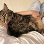 ニンゲンの腕の中に抱かれているキジトラ猫