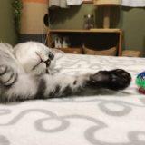 おもちゃのボールに手を伸ばすサバトラ猫