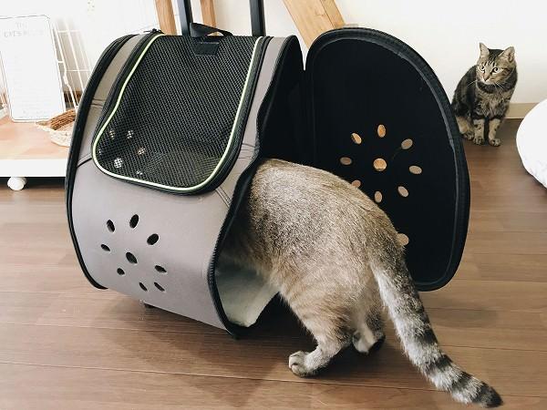 ペットキャリーの中に上半身を突っ込んでいるシャムトラ猫