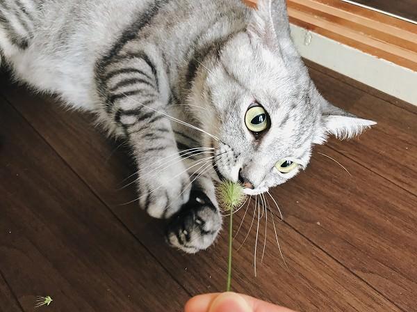 エノコログサに食らいついているサバトラ猫