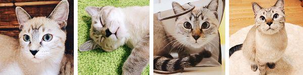 シャムトラ猫ムクの紹介