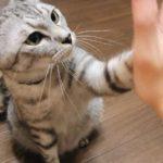 ニンゲンの手のひらに前足でタッチするサバトラ猫