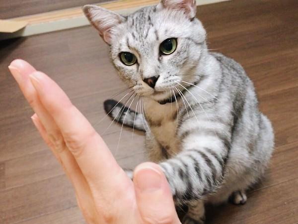 クリッカーで猫にハイタッチの練習