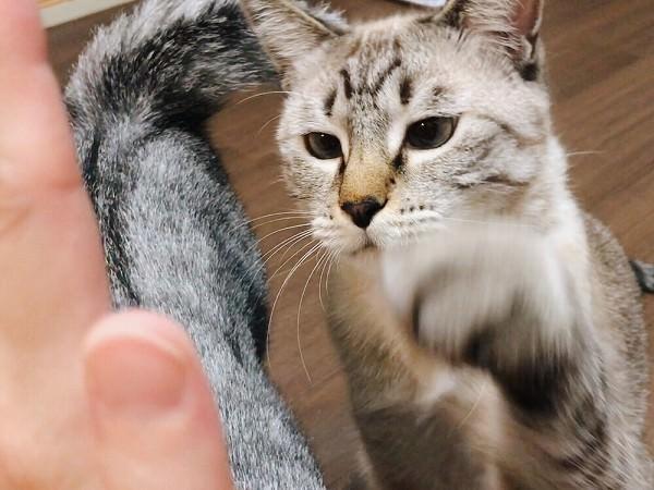 ハイタッチしようとしているシャムトラ猫
