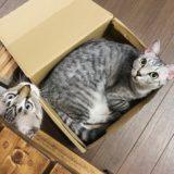 空き箱にすっぽり入っているサバトラ猫