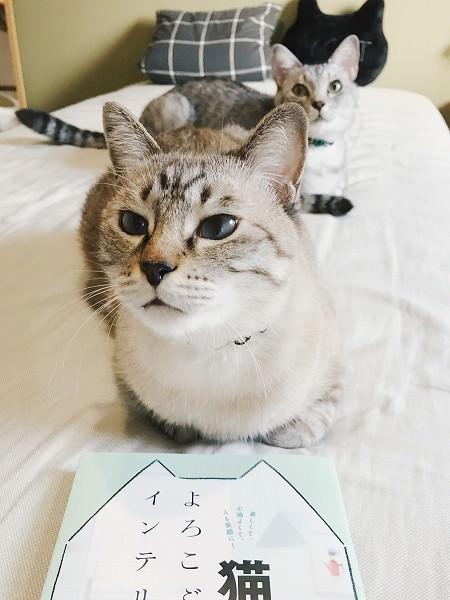 香箱座りをしているシャムトラ猫